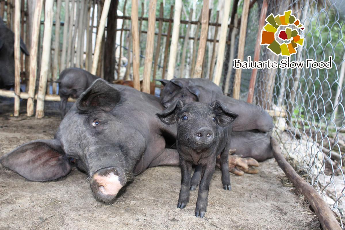 Cerdo Pelón